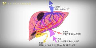 肝臓の血管とがん