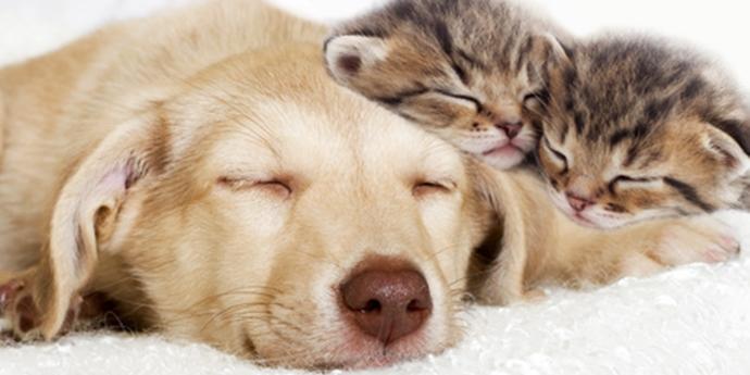 レトリバーの成犬と猫