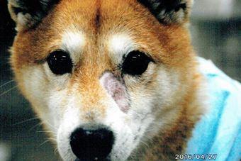 犬の顔面の皮膚病