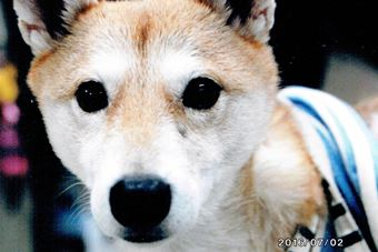 改善した犬の顔の脱毛
