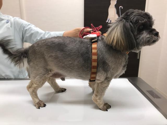 犬の肛門腫瘍